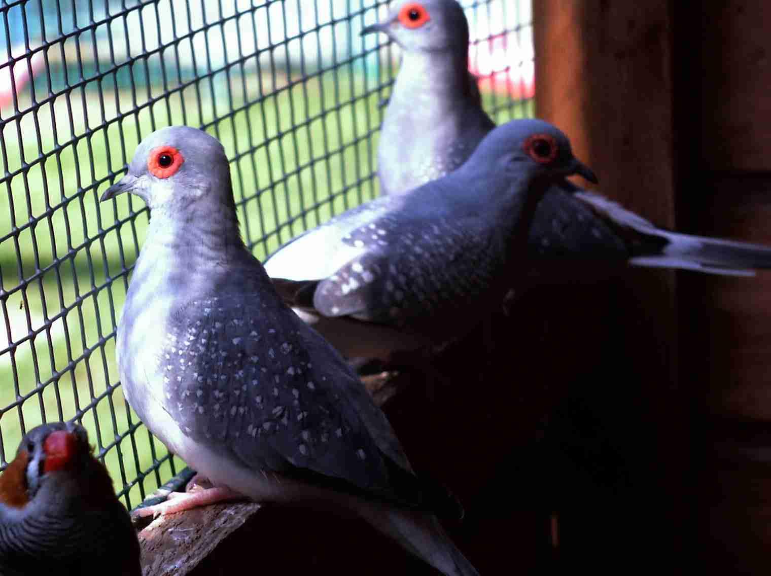 http://andysvogelzucht.klack.org/bilder/3tauben.jpg