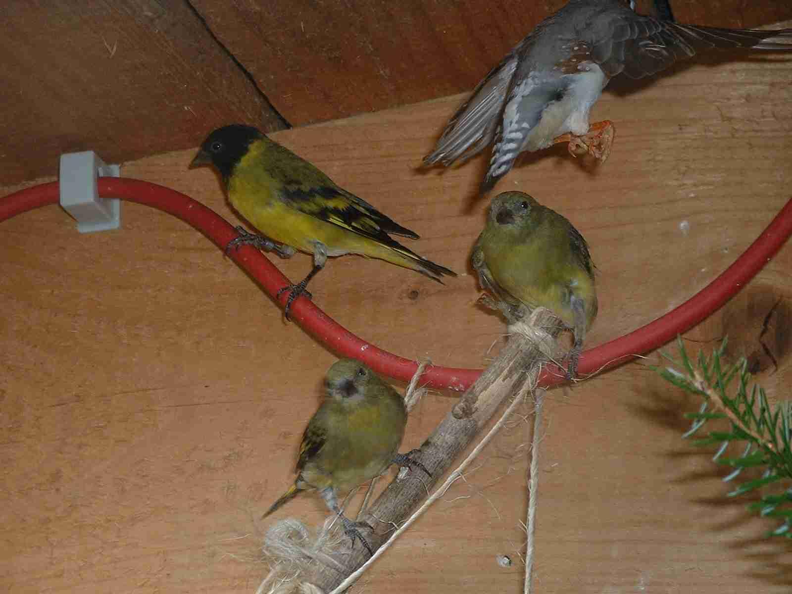 http://andysvogelzucht.klack.org/bilder/bild1931.jpg