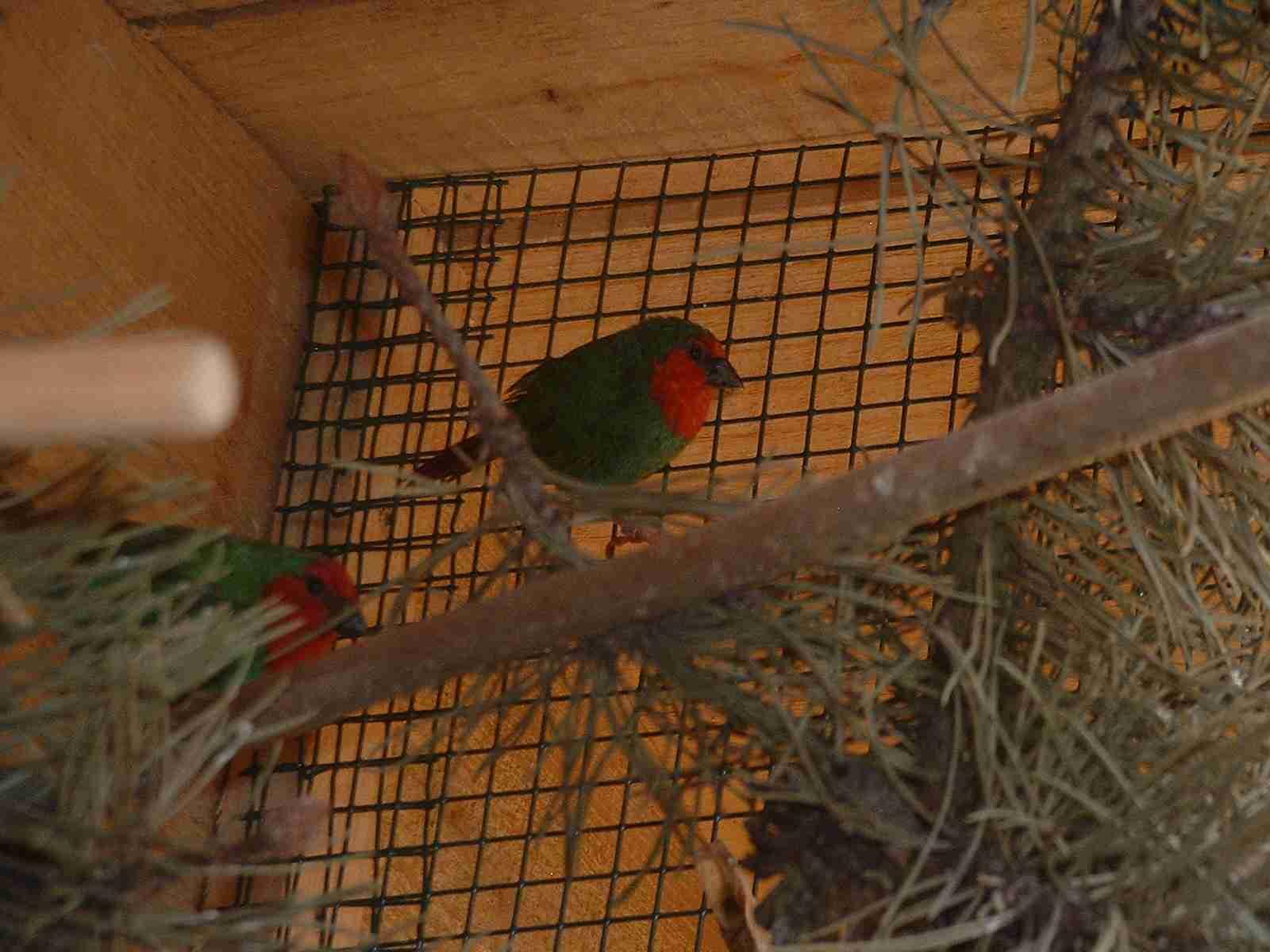 http://andysvogelzucht.klack.org/bilder/papageiamdine1.jpg